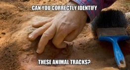 Can You Correctly Identify These Animal Tracks?